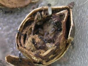 Ants in acorn